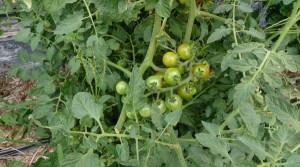 プチトマト2